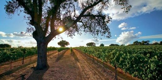 Camp 4 Vineyard. Photo credit: Tercero Wines.