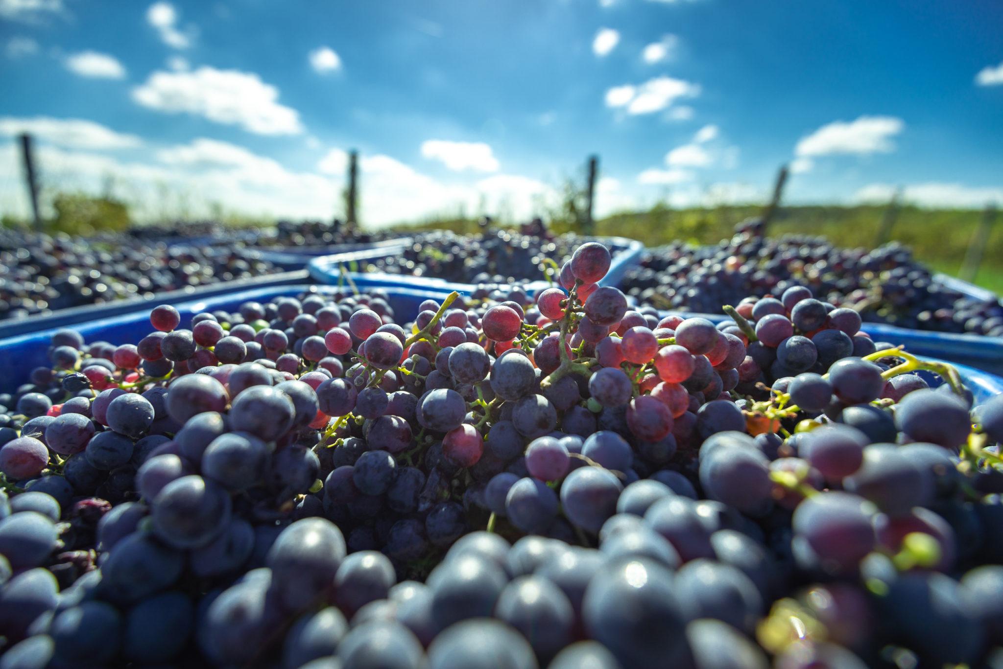 Taste-Hungary-Cabernet-Franc-harvest