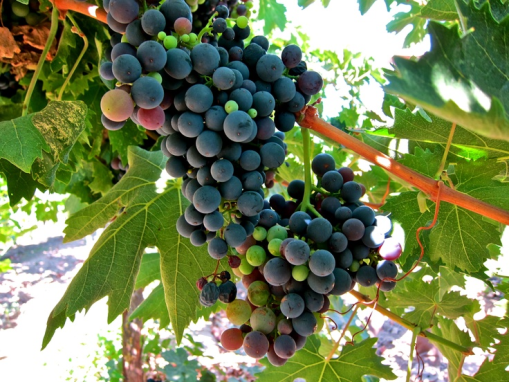 griggrapes